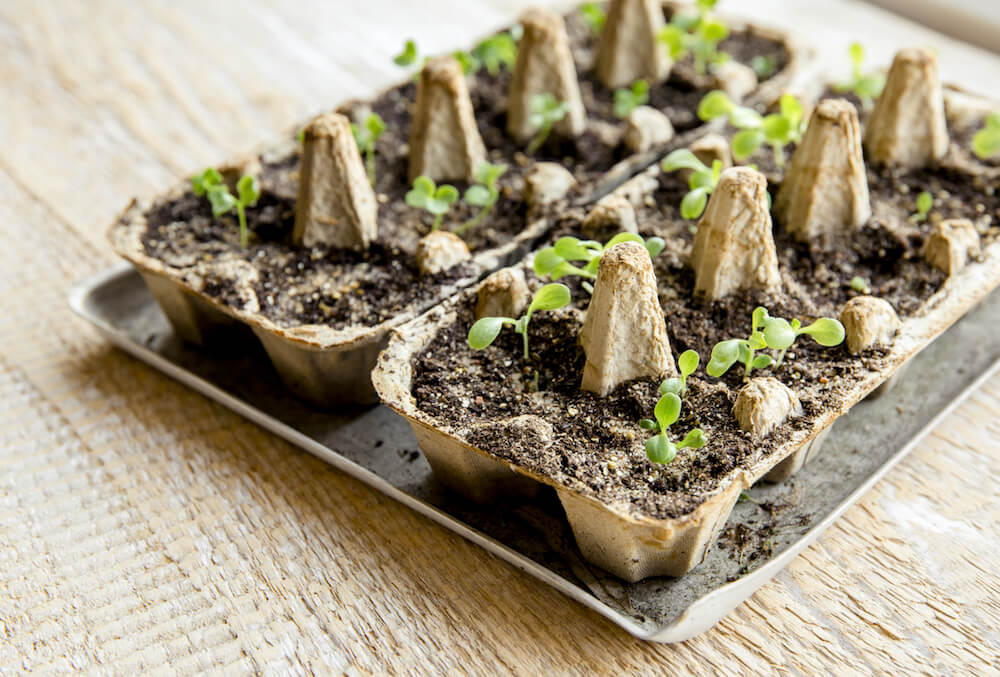 Seedlings in an egg carton.