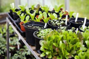 Seedlings sitting out near a window.