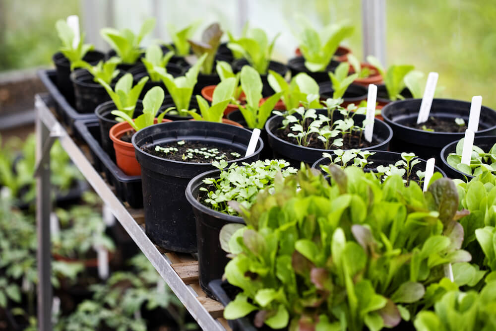 Seedlings sitting out near a window.