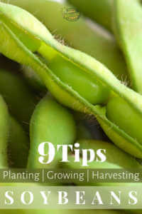 """Close up of an open soybean with text, """"9 Tips planting, growing, harvesting soybeans"""""""