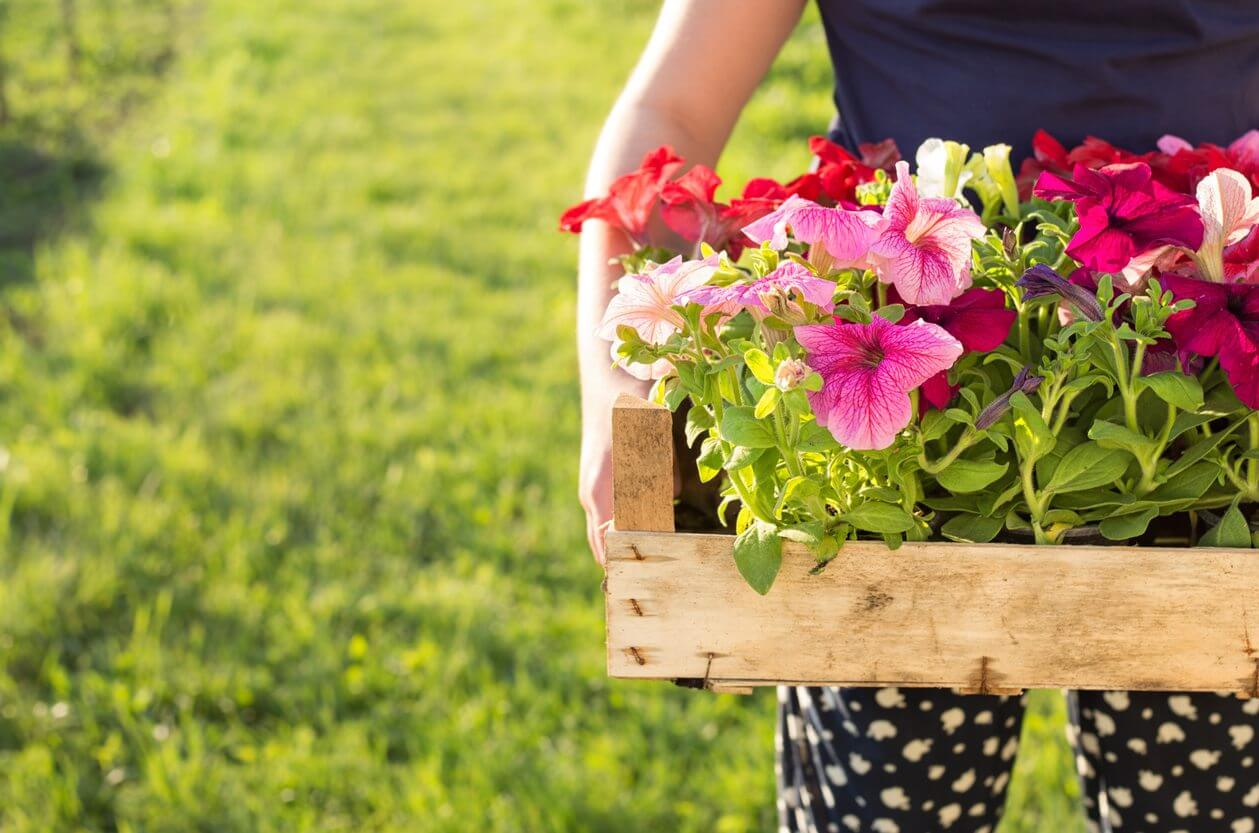 gardener holding box with petunias