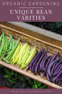 "Colorful beans in a wooden basket with text, ""Organic Gardening, Unique Bean Varieties"""