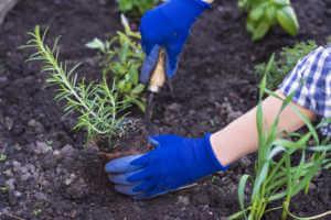 Women planting herbs in a garden