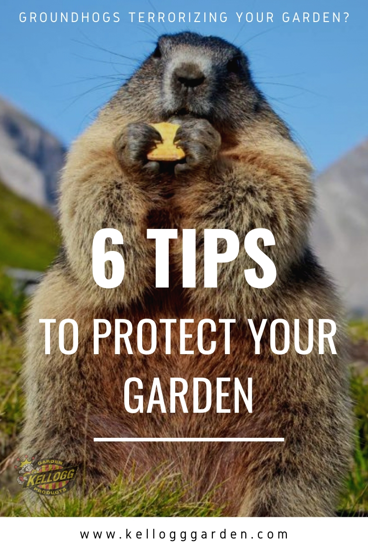 """close up image of ground hog, with text, """"6 tips to protect your garden"""""""