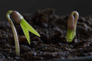 Soybean sprouting