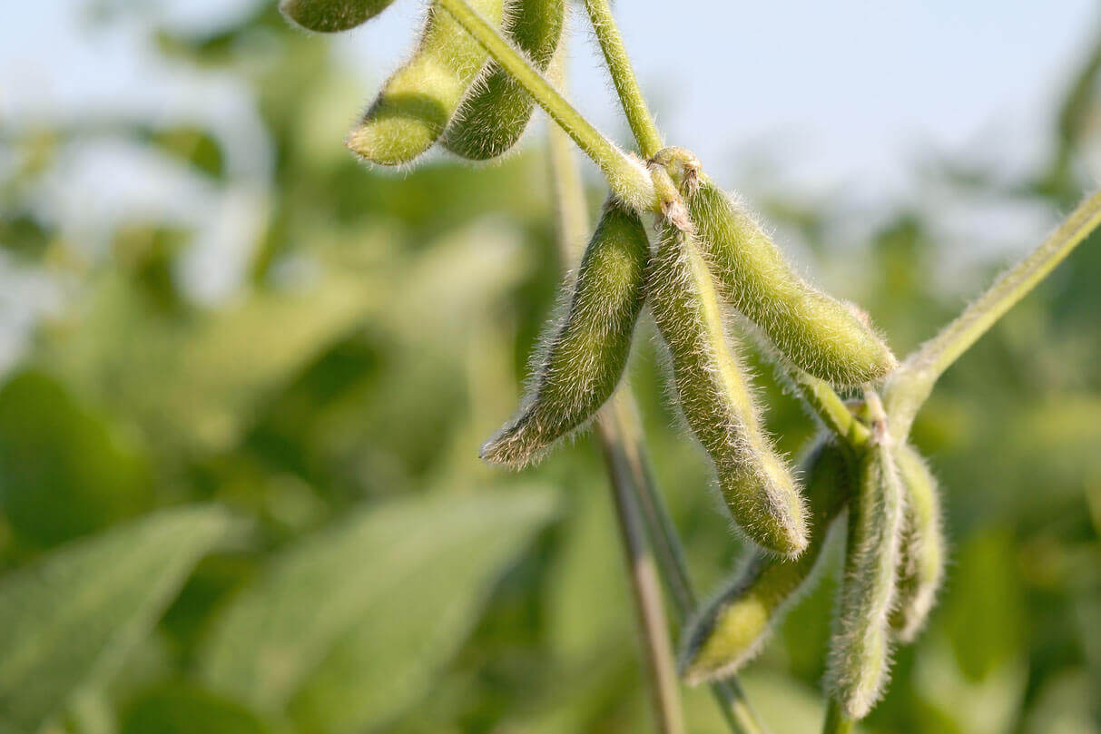 Green fuzzy soybeans