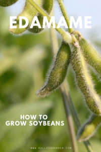 """Green fuzzy soybeans with text, """"Edamame, how to grow soybeans"""""""