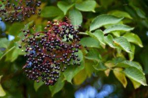 Colorful Elderberry Shrub