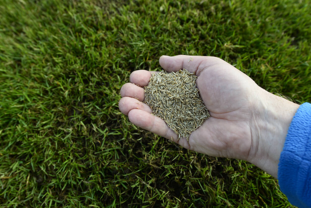 Grass seeds in a hand