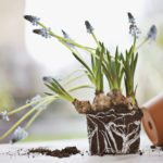 healthy plant roots