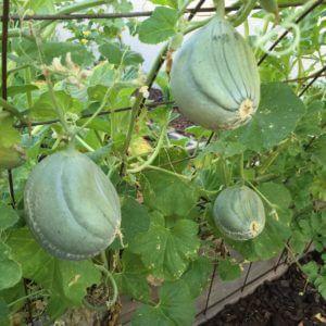 vertical melon in garden