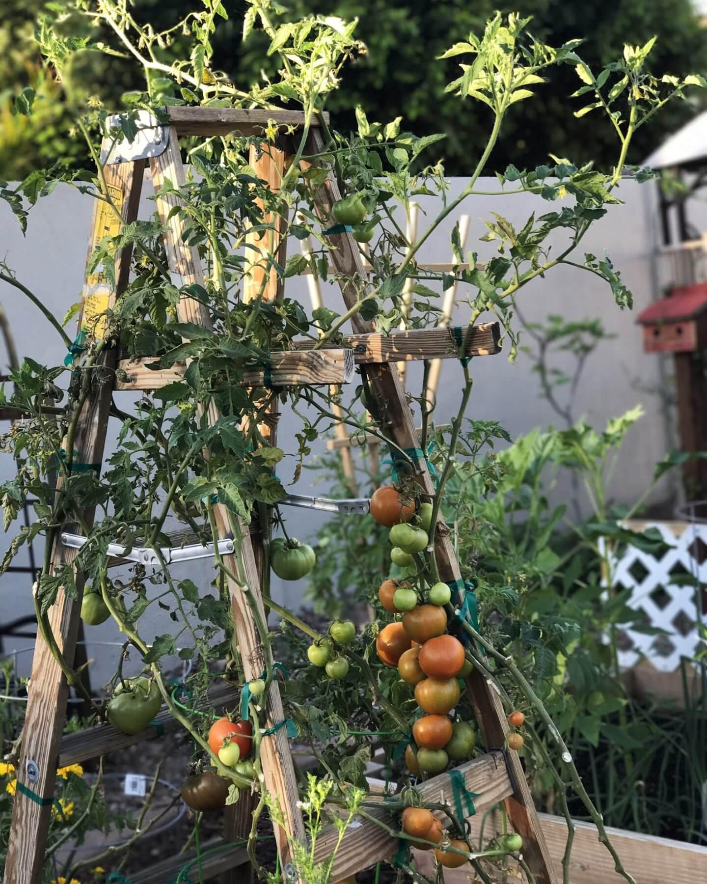vertical grown tomato