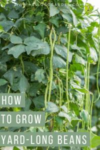 garden of yard long beans pinterest image