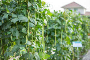 Yardlong beans hanging from tree