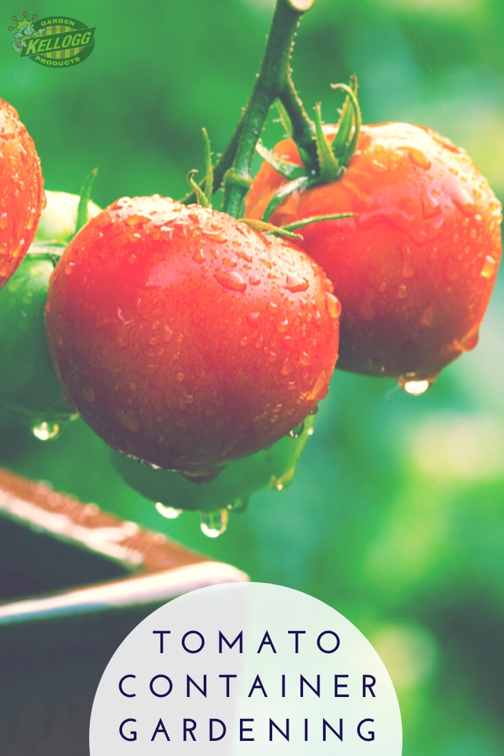 """Tomatoes in a container with text, """"tomato container gardening"""""""