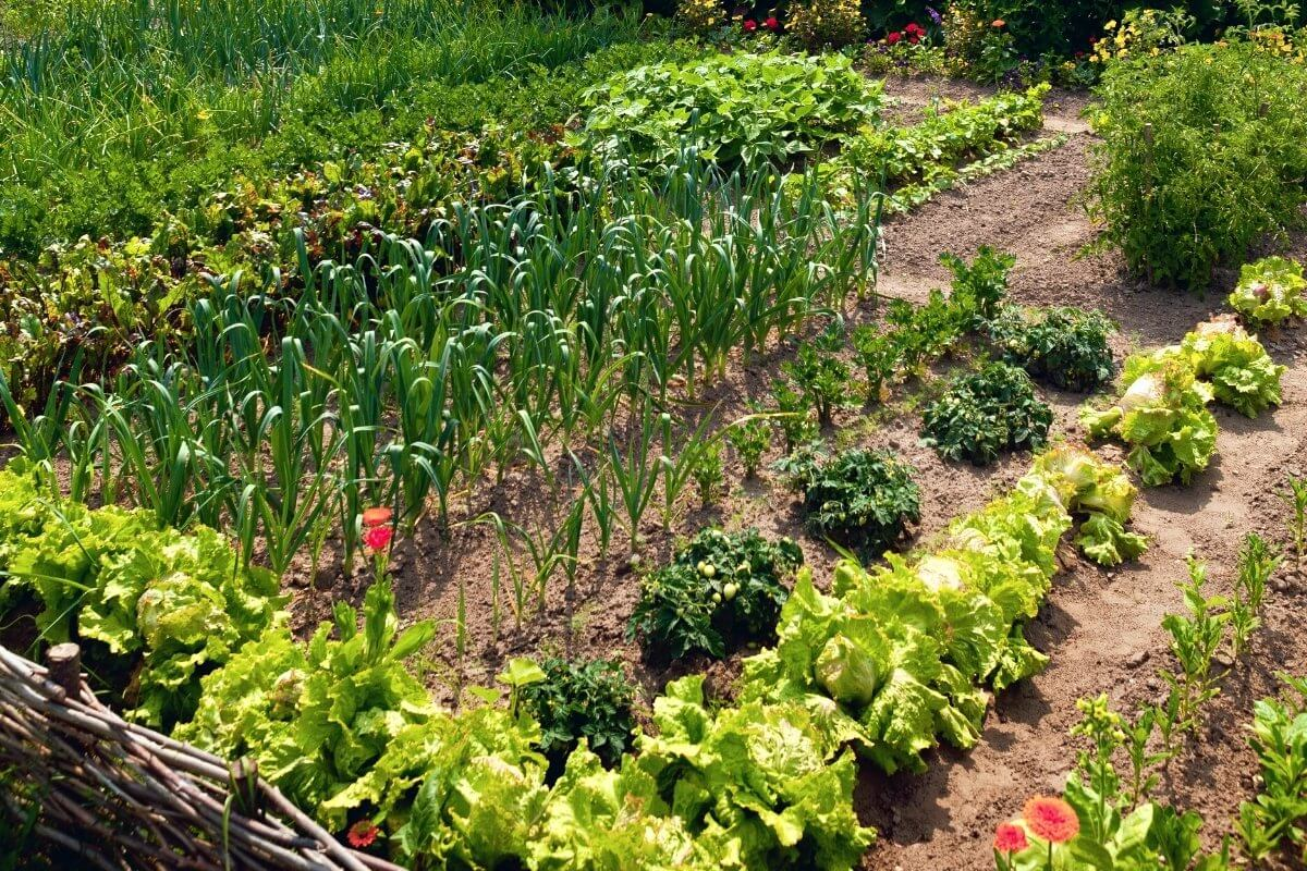 In ground garden growing row of leafy greens, onions, and other crops.