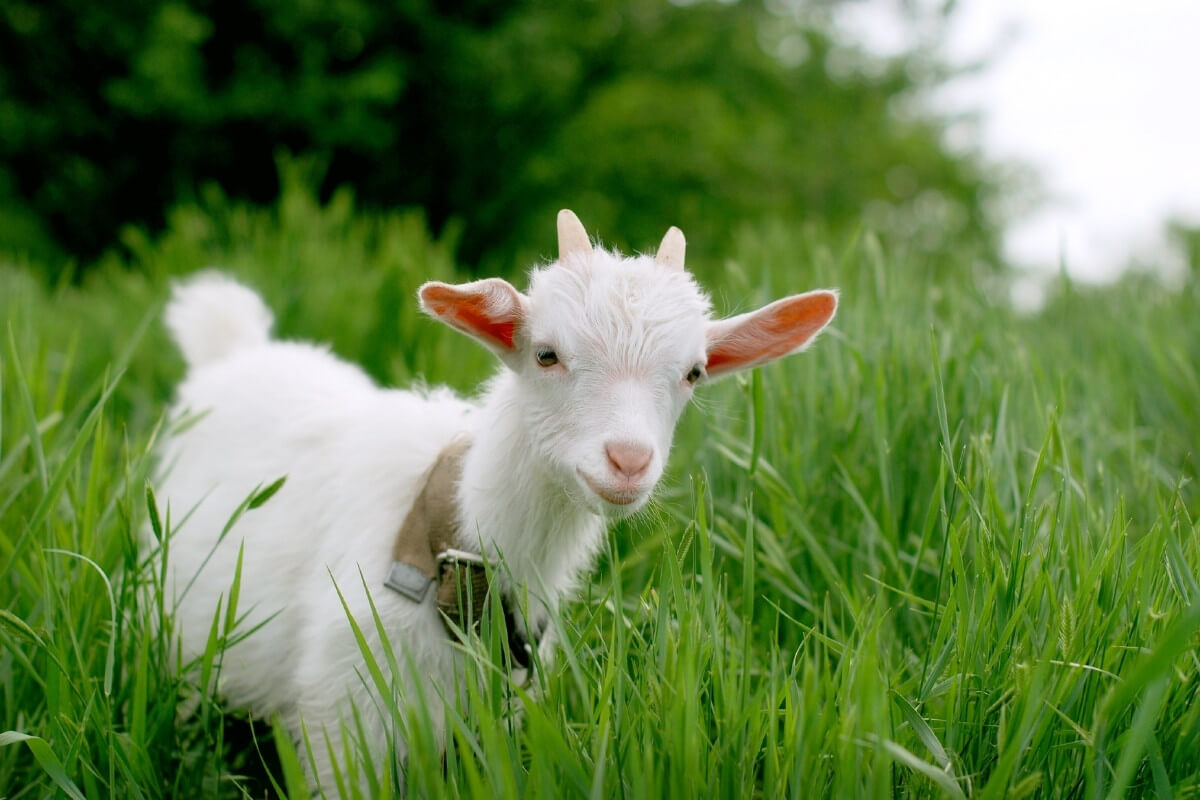 Small white goat standing in a field of tall grass.