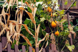 Orange ripe squashes on a stem in a garden behind wooden fence in autumn