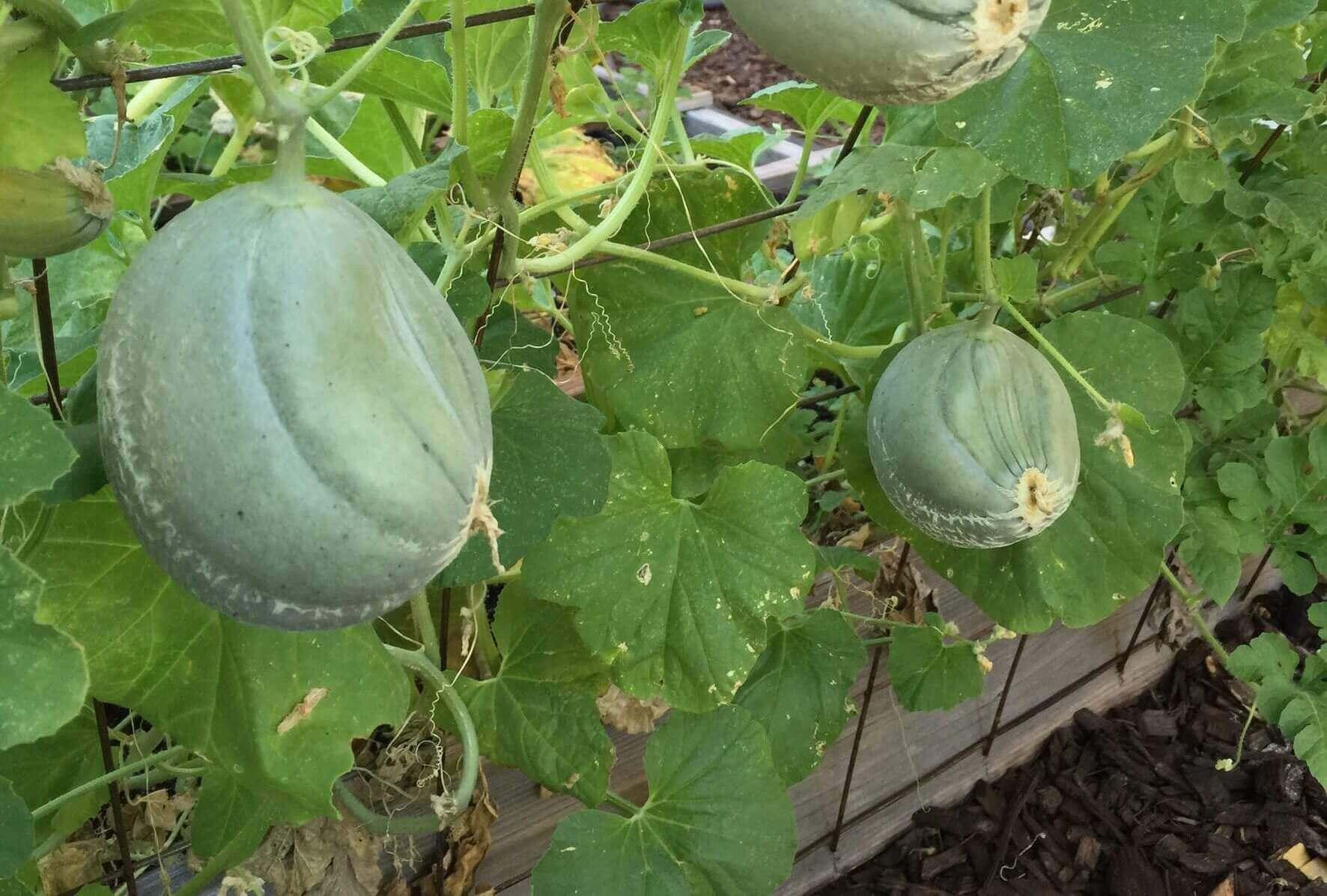 Vertical melon garden