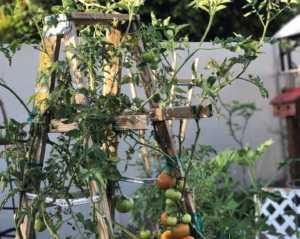 Vertical tomato gadren.
