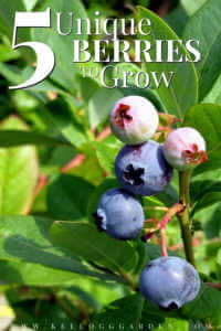 """Close up of huckleberries growing with text, """"5 unique berries to grow"""""""