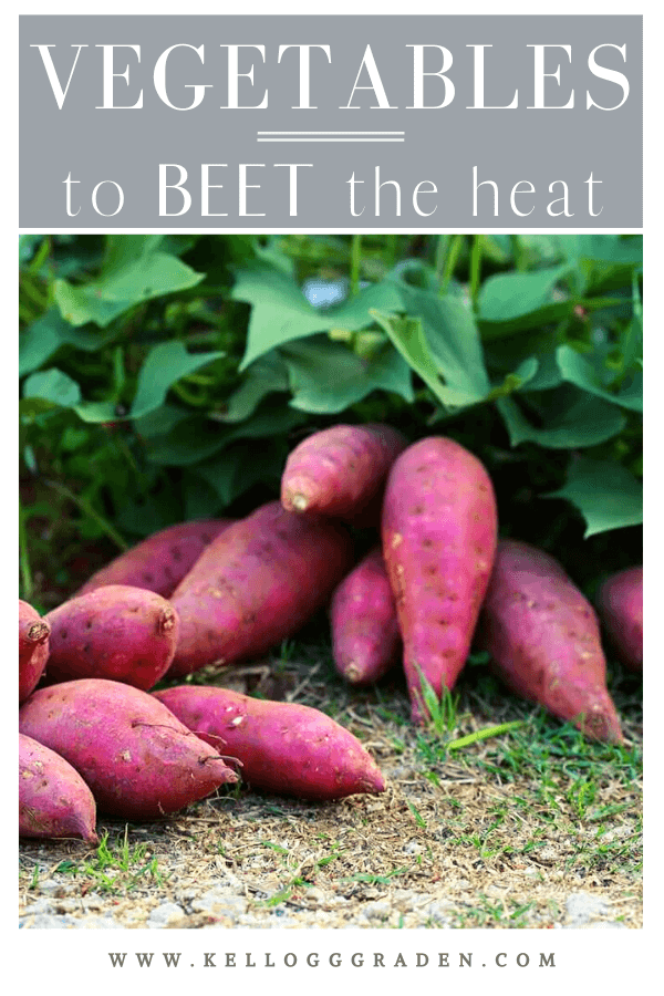 12 beets on the ground in the garden pinterest image