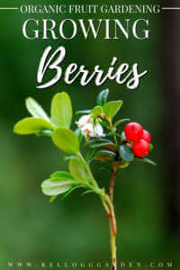 "Close up of lingonberries growing with text, ""Organic fruit gardening, growing berries"""
