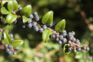 Huckleberries growing on a branch.