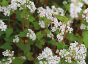 White buckwheat flowers with bee
