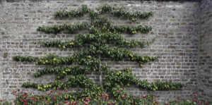 Espaliered pear fruit tree