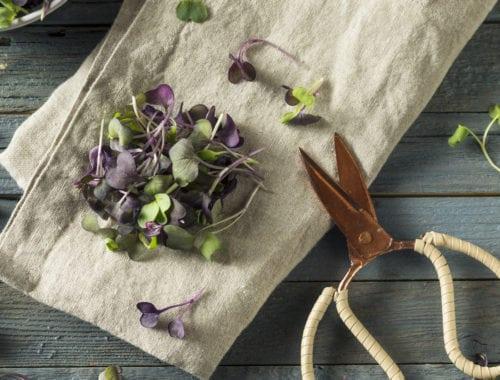 purple organic radish