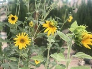 yellow sunflower in the garden