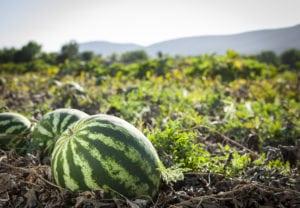 watermelon stock