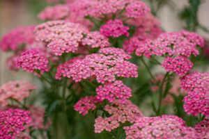 Pink Achillea Millefolium flowers close up