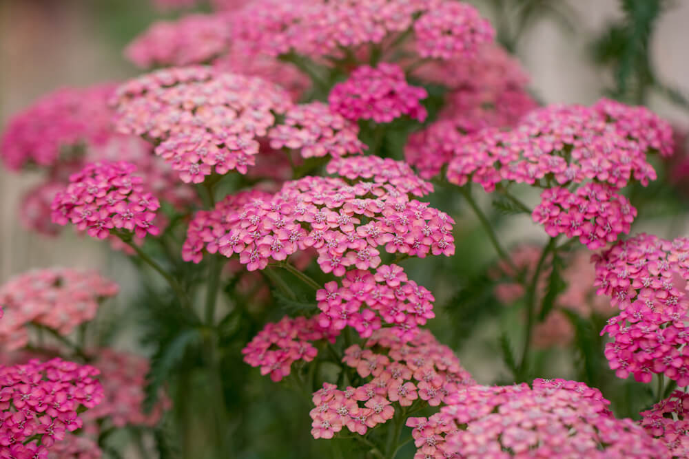 Pink Achillea Millefolium flowers close up