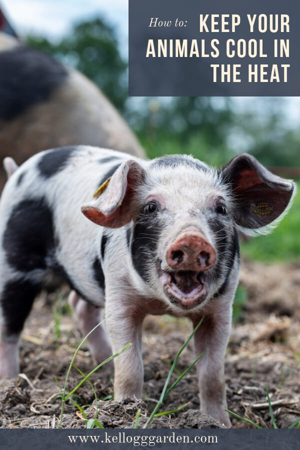 Keeping farm animals cool in the heat pinterest image