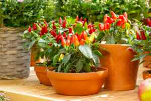 red, yellow, and orange peppers in a clay pot