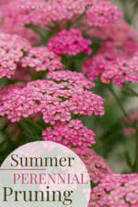 """Pink flowering bush with text, """"Summer perennial pruning"""""""