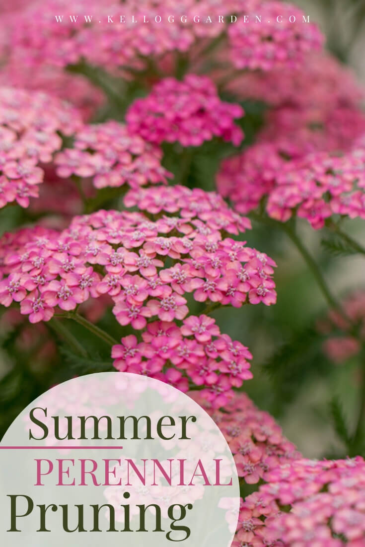 "Pink flowering bush with text, ""Summer perennial pruning"""