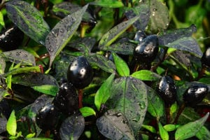 Black Pearl Peppers