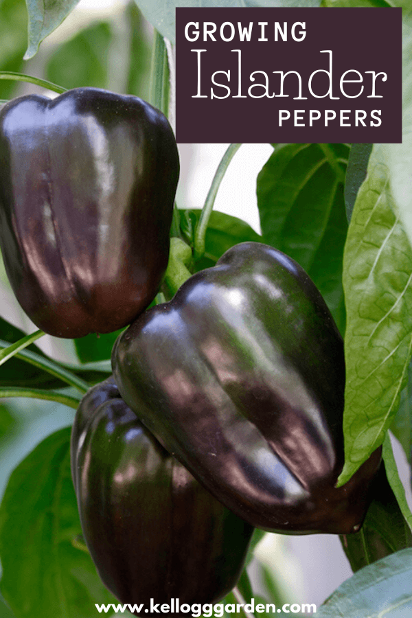 purple islander pepper