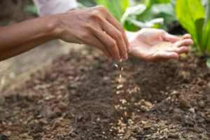 woman sowing brown seeds