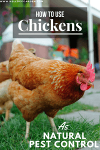 chicken canva