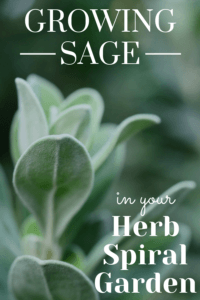 sage in fall garden
