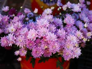 crysantheums