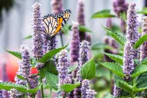 Hyssop with butterfly