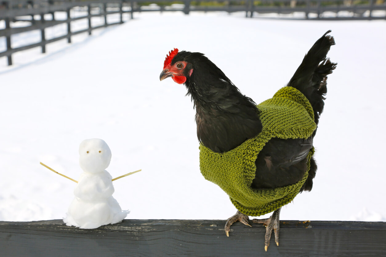 Chicken in a sweater next to a small snowman