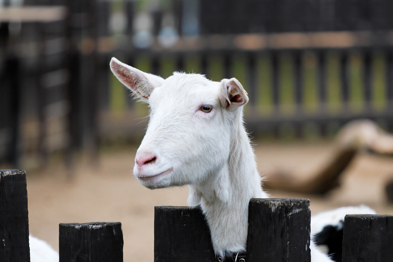 Goat behind a fence