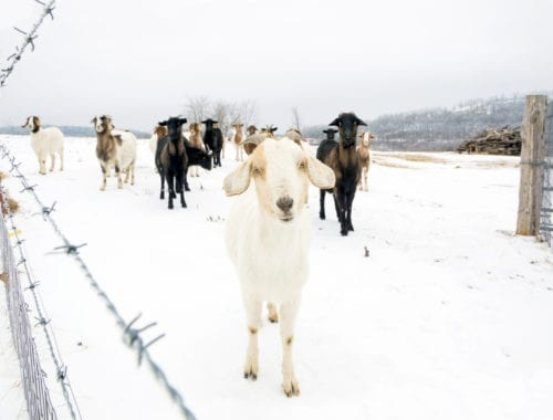 Cold weather goat in the snow