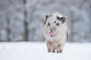 Cold weather pig in the snow